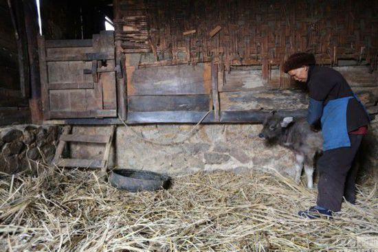 """翻晒完衣服,韦兴云并没有进屋做午饭,而是来到牛棚查看生病的牛崽:""""这头小牛崽已经拉了半个月的肚子了,身体越来越瘦了,每天都要过来看好多次,担心它的病情是不是加重了。如果它死了,老头子回来肯定把我骂个半死,要知道这头小牛可是我们家最值钱的家当了,老头子说了,等小牛崽长大了,能下地干活儿了,就把它的妈妈卖给牛贩子杀掉卖肉吃,它的妈妈老了,干不动活儿了。"""""""