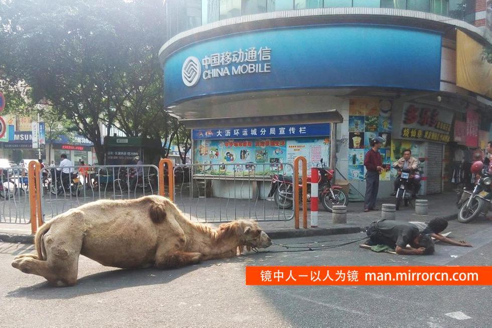 骆驼四肢被砍闹市乞讨