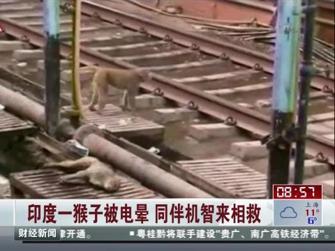 猴子被电晕 同伴来相救  印度一猴子被电晕 同伴机智来相救