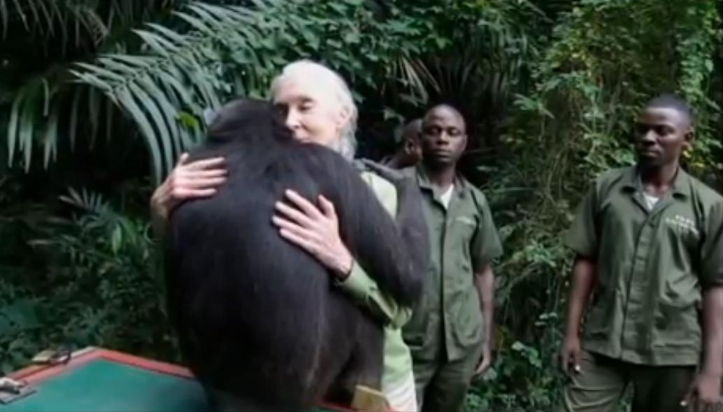 回归大自然的黑猩猩,与恩人深情一抱